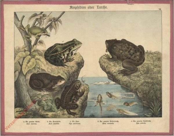 VII [1886] - Amphibien oder Lurche. Frosch
