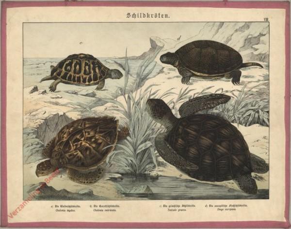 VIII [1886] - Schildkröten