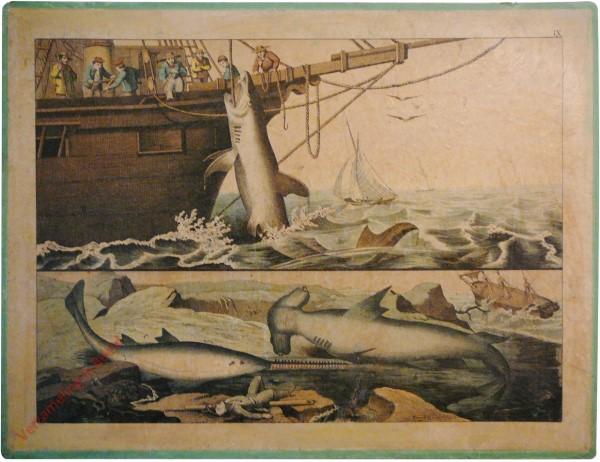 IX [ouder] - Fische. [Haaien, jagers]