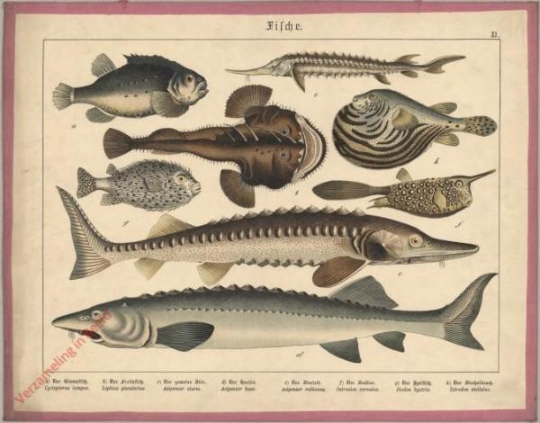 XI [1886] - Fische [Steur, kogelvis, e.a.]