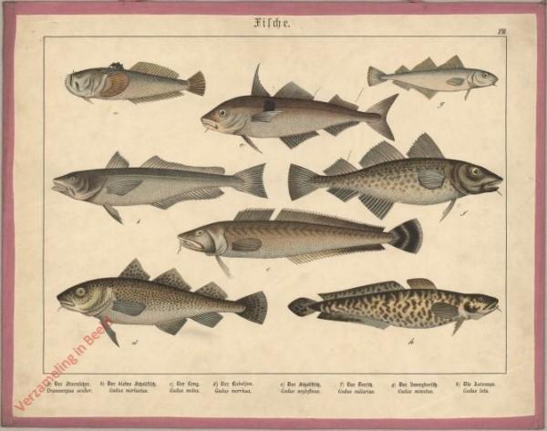 XIII [1886] - Fische