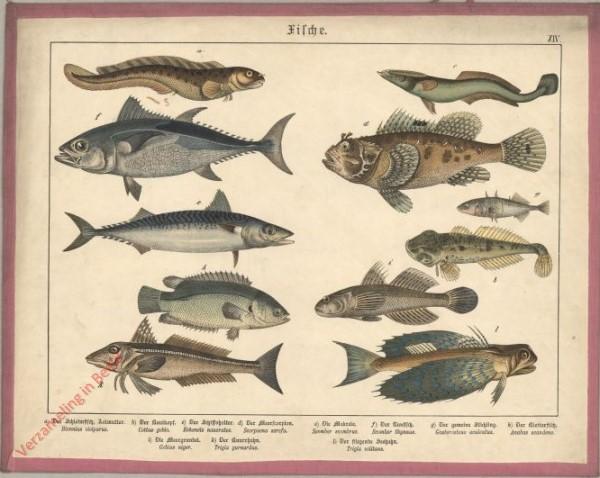 XIV [1886] - Fische