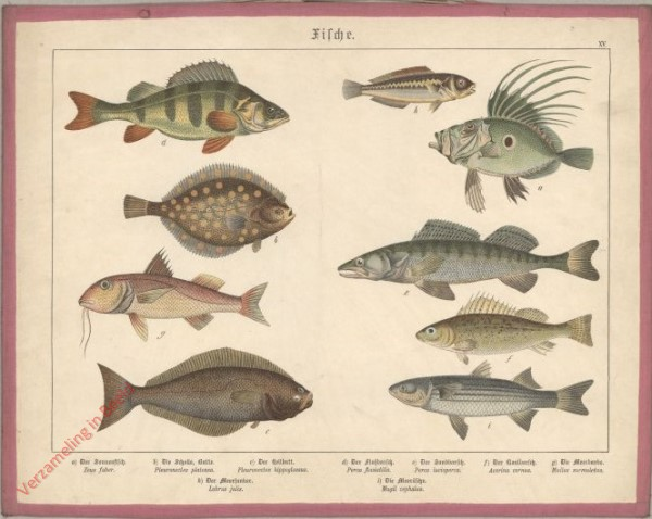 XV [1886] - Fische