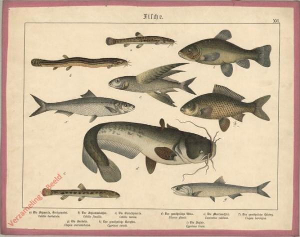XVI [1886] - Fische