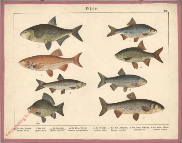 XVII [1886] - Fische