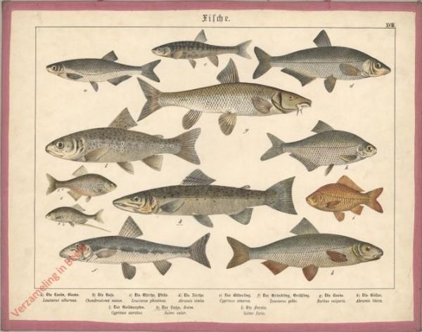 XVIII [1886] - Fische