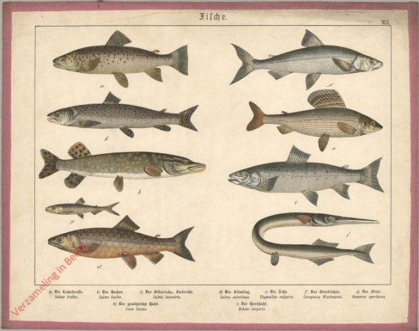 XIX [1886] - Fische