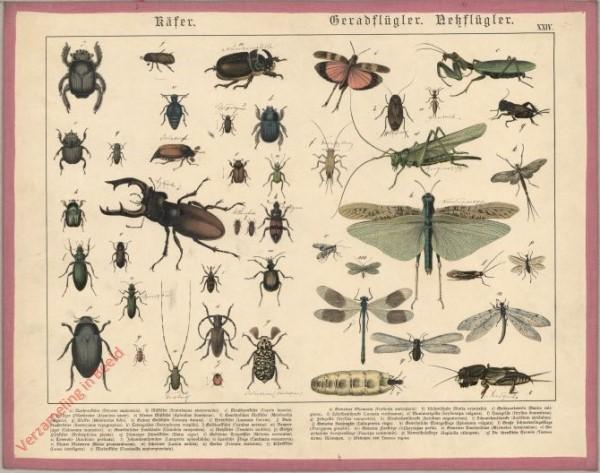 XXIV [1886] - Käfer, Geradflügler, Nekflügler