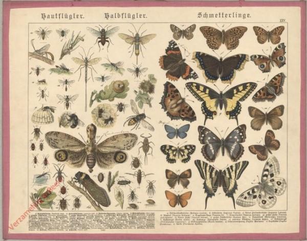 XXV [1886] - Hautflügler, Halbflügler, Schmetterlinge