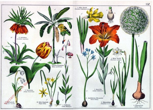 XVII - [Diverse planten]