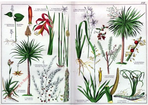 XVIII - [Diverse planten]
