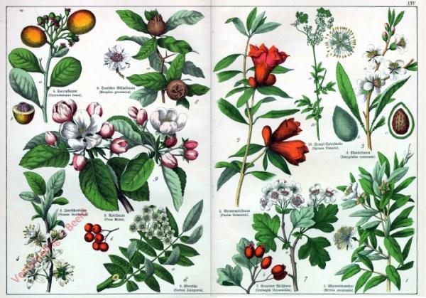 XXV - [Diverse planten]