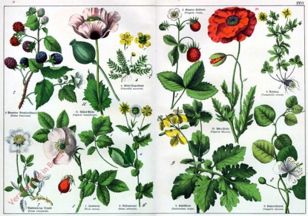 XXVI - [Diverse planten]