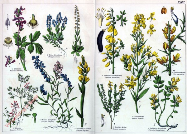 XXXVI - [Diverse planten]