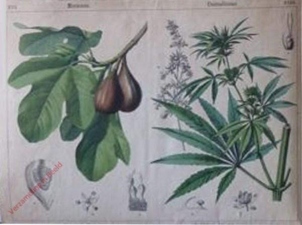 XVII, XVIII - [Diverse planten]