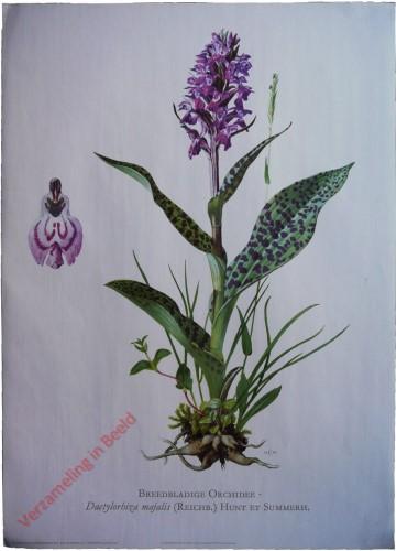 3 - Breedbladige orchis [Voorhoeve versie]