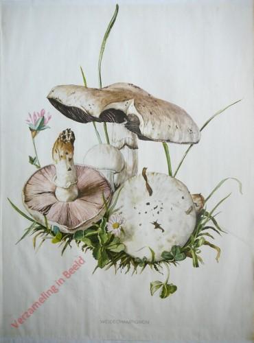 7 - Wiesen-Champignon