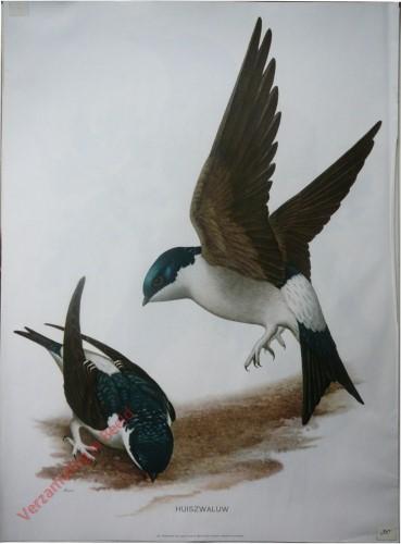10 - Huiszwaluw
