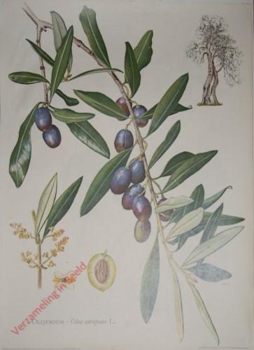 4 - Olijfboom