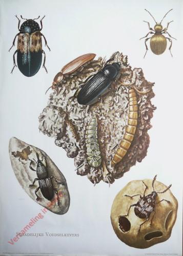 4 - Schadelijke voedselkevers [Voorhoeve versie]