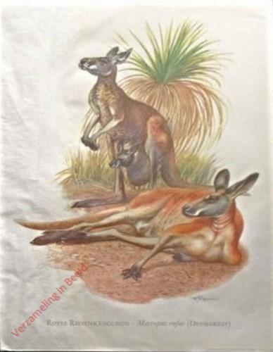 1 - Rotes Riesenk�nguruh