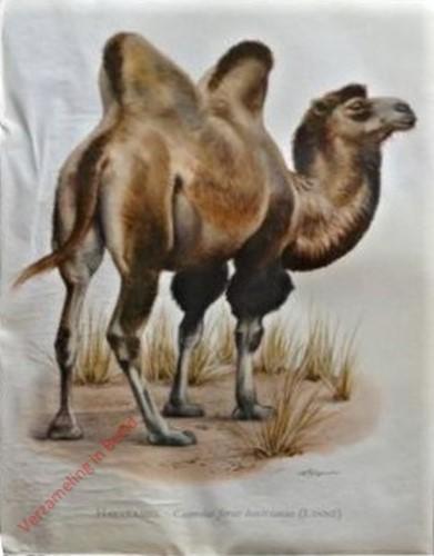 7 - Kamel