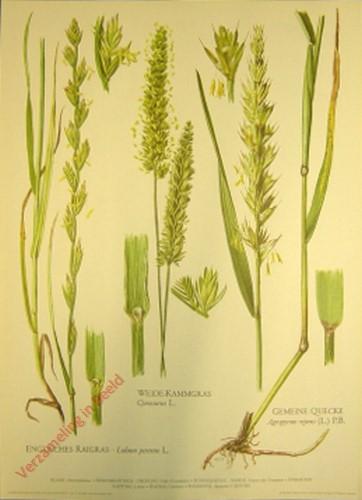 4 - Weide-Kammgras, Engl. Raidgras, Gemeine Quecke