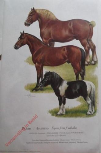 1 - Paard - Hauspferd