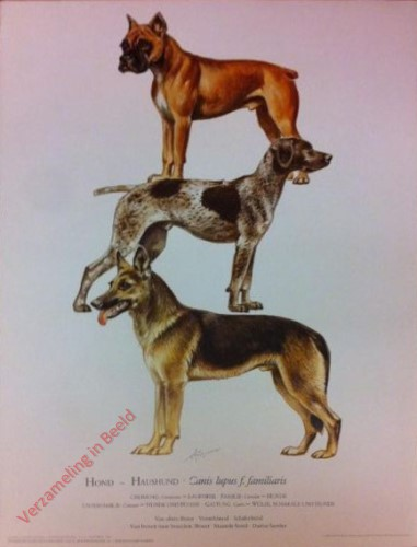 3 - Hond - Haushund