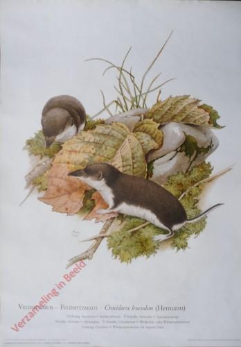 2 - Veldspitsmuis - Feldspitzmaus. Crocidura leucodon (Hermann)