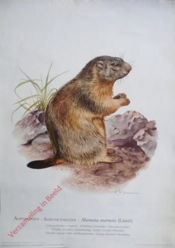 4 - Alpenmarmot - Alpenmurmeltier. Marmota marmota (Linn�)
