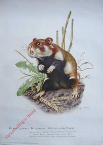 7 - Gewone hamster - Feldhamster. Cricetus cricetus (Linné)