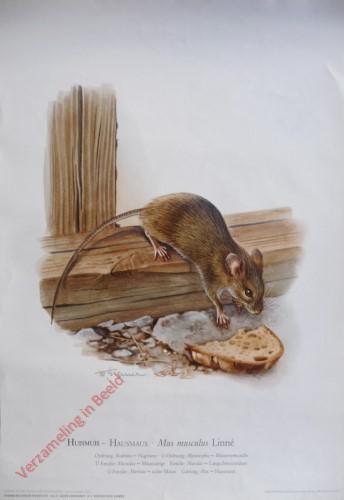 8 - Huismuis - Hausmaus. Mus musculus (Linné)