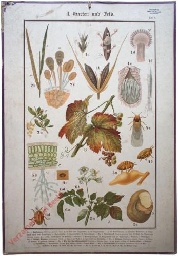 II. Garten und Feld, Taf. 6 - [Coloradokever, schadelijke insecten voor aardappels, wijnrank]