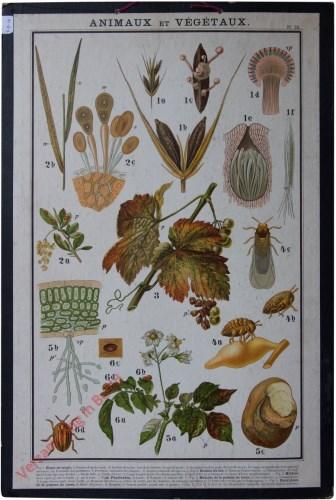 Pl. 23 - [Coloradokever, schadelijke insecten voor aardappels, wijnrank]