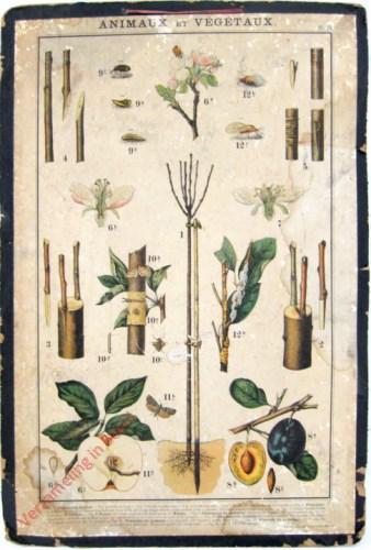 Pl. 29 - [Fruitbomen, pruim]