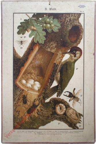 IV. Wald, Taf. 15 - [Groene specht, vliegend hert]