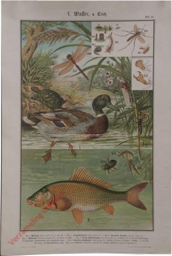 V. Wasser, Taf. 22 - [Groete waterjuffer, moerasschildpad, wilde eend, karper]