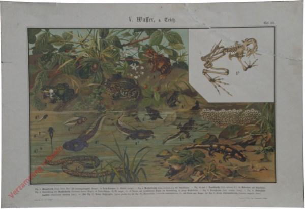 V. Wasser, a. Teich, Taf. 23 - [Kikker, pad, salamander]