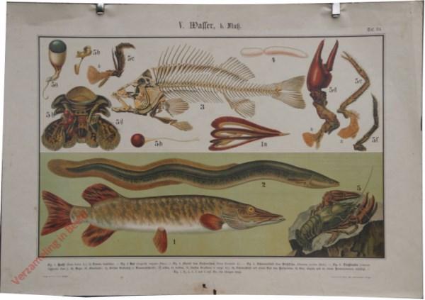 V. Wasser, b. Fluss, Taf. 24 - [Skelet baars, paling, snoek, rivierkreeft]