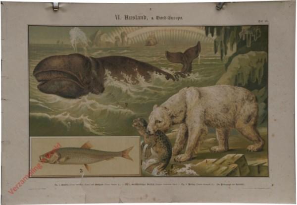 VI. Ausland, a. Nord-Europa, Taf. 25 - [IJsbeer met zeehond, groenlande walvis, haring]