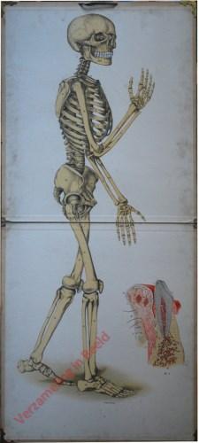 I - Das menschlicher Knochengerüst (Skelett)