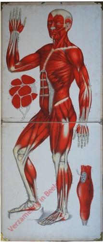 II - Die Muskeln des menschlichen Körpers