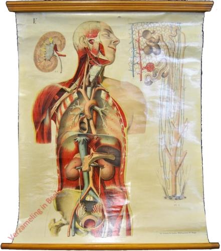 V - Die wichtigsten Arterien