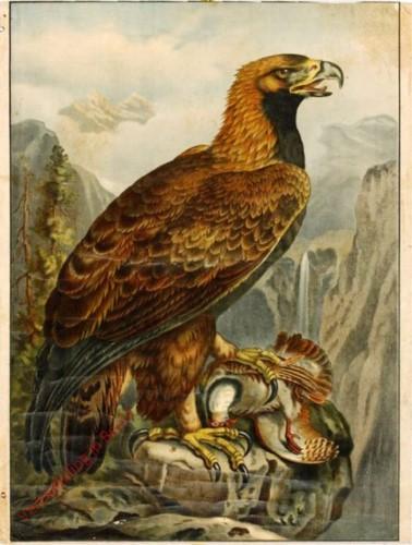 4 - Adler [herzien]