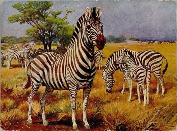 34 - Zebra