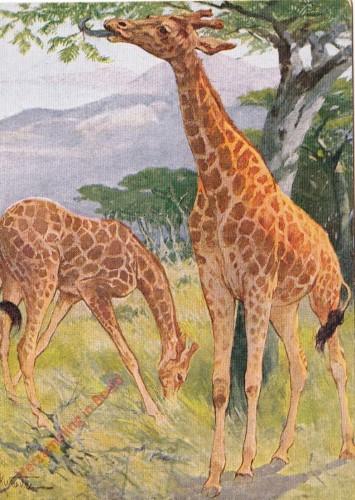 35 - Giraffe