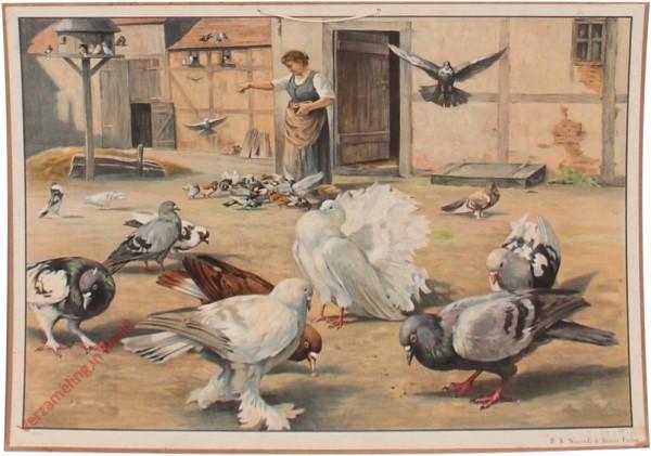 52 - Tauben