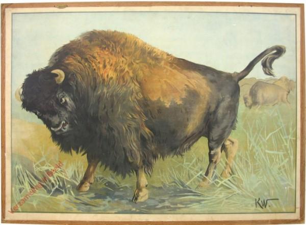 66 - Amerikanischer Büffel