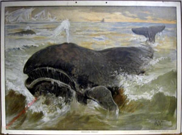 71 - Walfisch